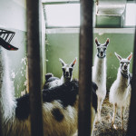 Lamas in a recovery clinic