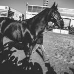 Varenne at Verona's Horses Fair